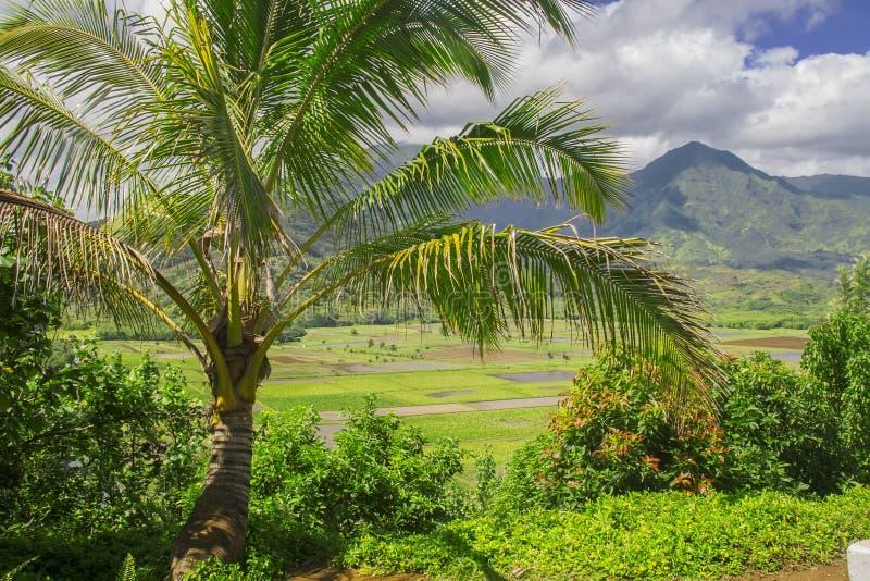 Fields of Taro, Hanalei Valley, Kauai, Hawaii stock photo