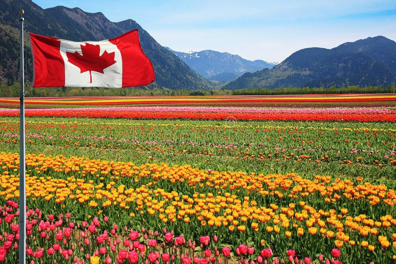 Canada Tulip fields. Fields of tulips in British Columbia, Canada with a Canadian flag in the foreground stock photos