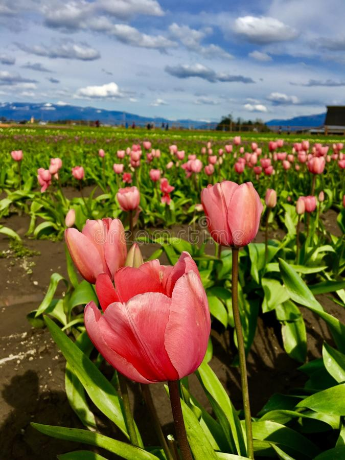 Fields of tulips stock images