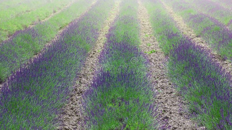 Поля цветка лаванды зацветая надушенные в бесконечных строках стоковая фотография