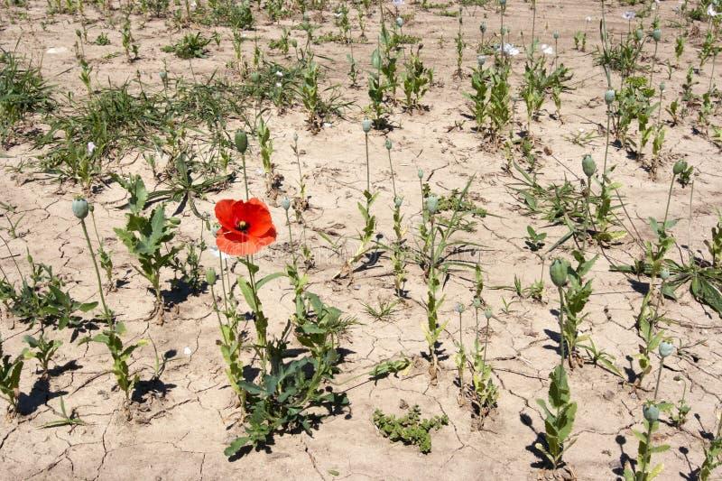 fields vallmoredweeden arkivbild