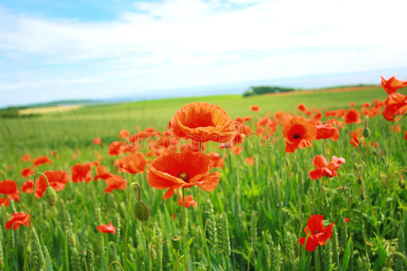 fields vallmosommar fotografering för bildbyråer