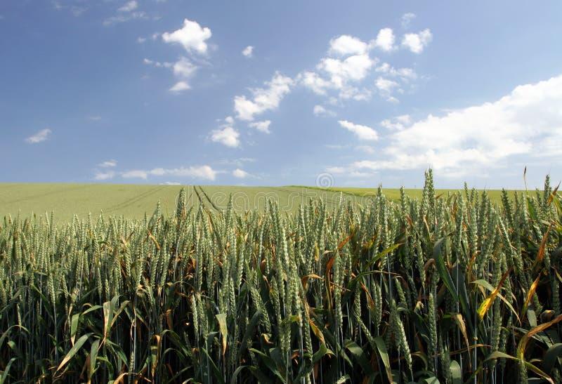 Fields Vete Royaltyfri Foto