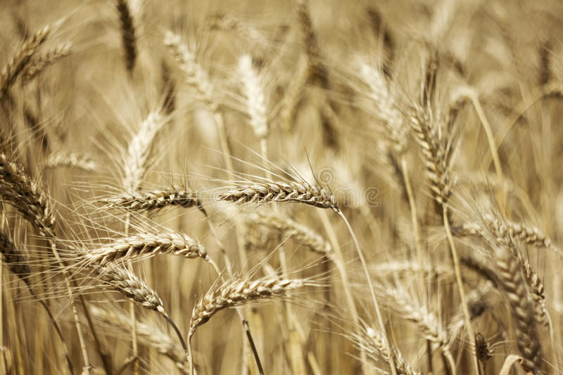 Download Fields of wheat stock image. Image of food, landscape - 24988839
