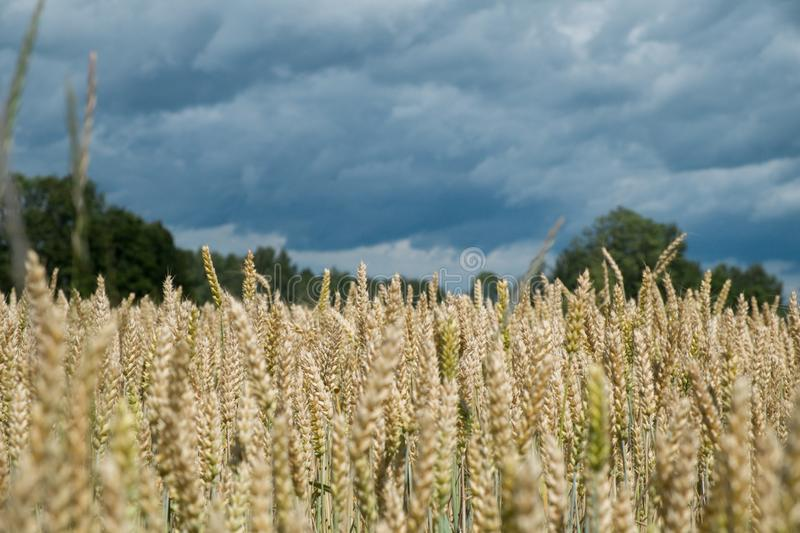 Fields of wheat and storm sky in background royalty free stock photos