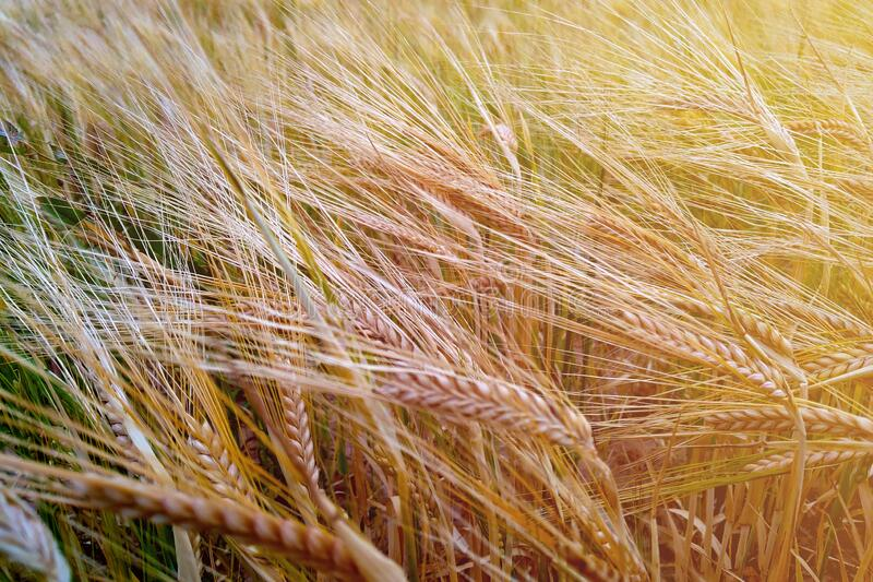 Fields of wheat at the end of summer fully ripe stock photos