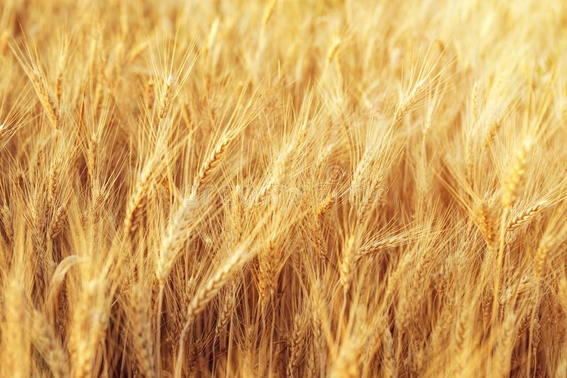 Fields of wheat at the end of summer fully ripe . Rural scenery under shining sunlight. Rural scenery under shining sunlight. Fields of wheat at the end of royalty free stock images