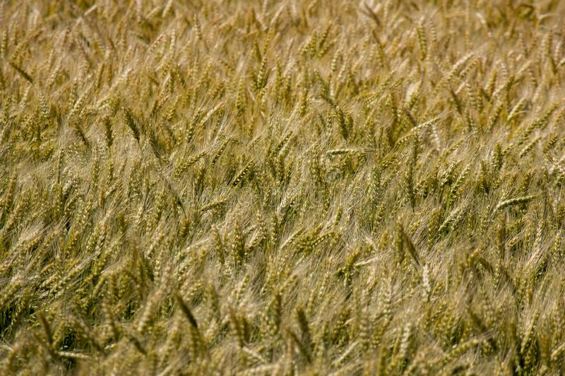 Fields of wheat matured at the end of the summer, close-up stock images