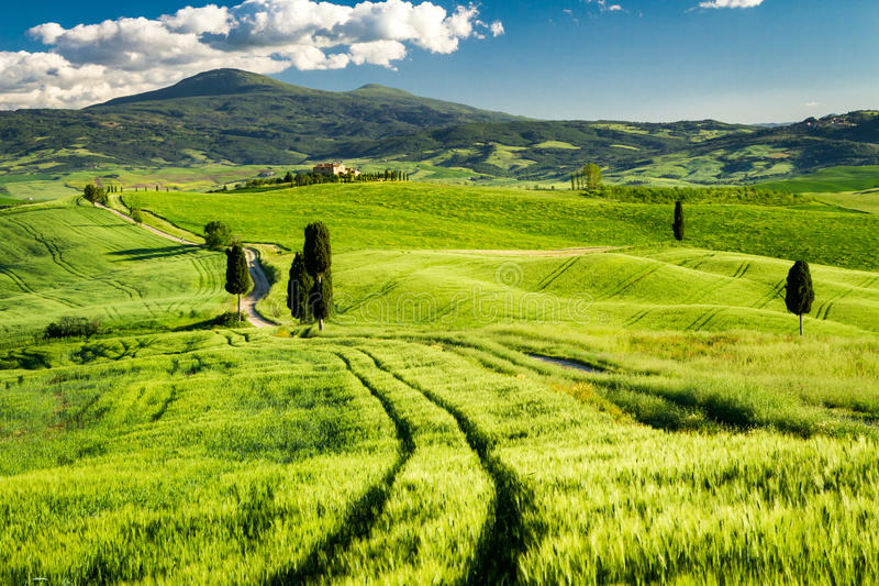 Fields of wheat in the valley in Tuscany royalty free stock images