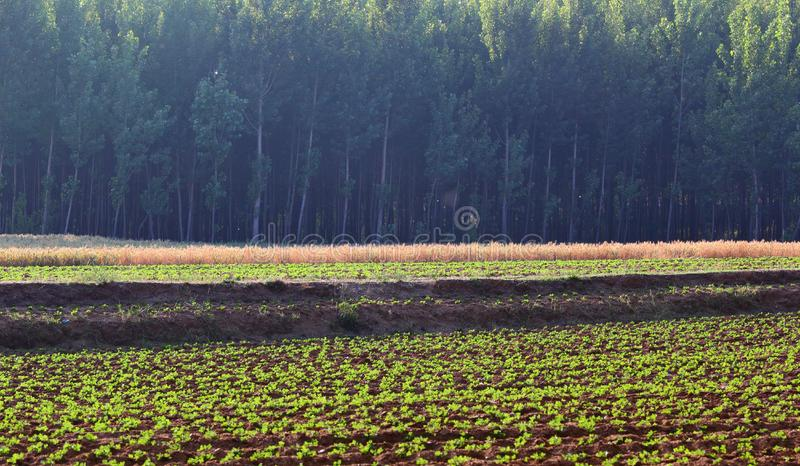 Download Fields and woods stock photo. Image of golden, woods - 20390110