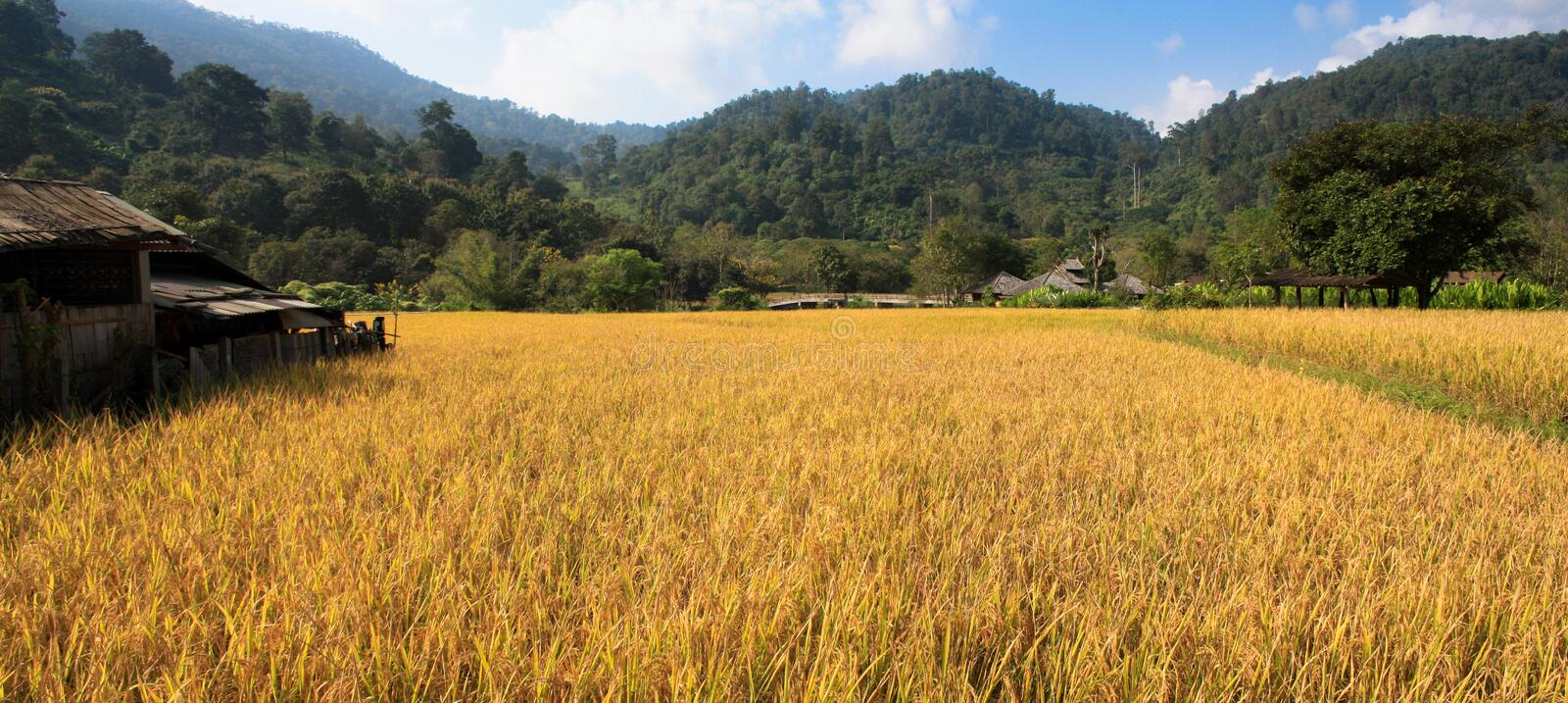 Fields and yellow rice stock photo