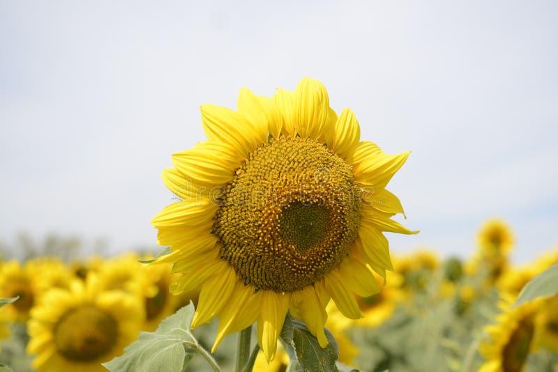Fieldsunflower lizenzfreie stockfotografie