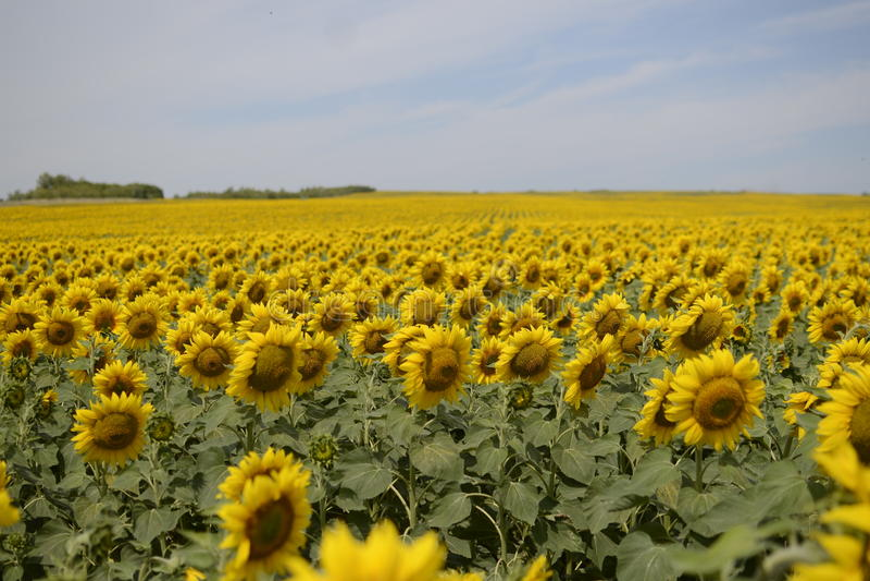 Fieldsunflower 免版税库存照片