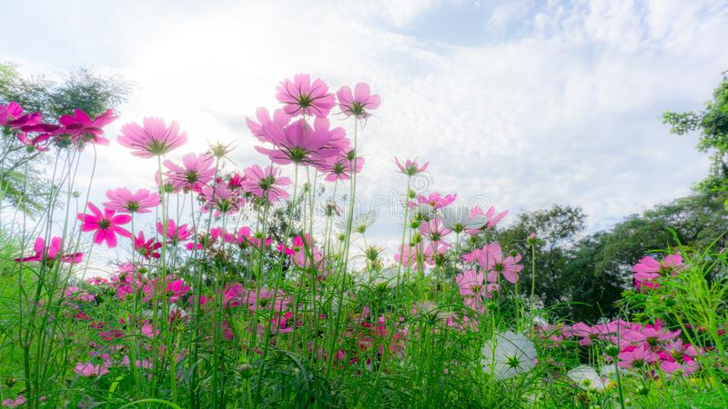 Fiels of beautiful soft Pink, violet and White Cosmos hybrid blossom under vivid blue sky and white clouds in a sunny day, trees royalty free stock images