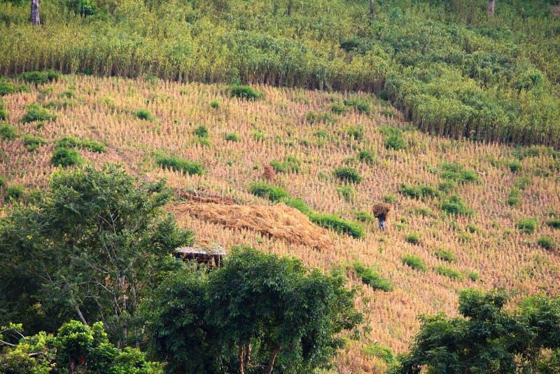Fieno di trasporto dell'agricoltore locale sulla sua terra nel Laos fotografia stock libera da diritti