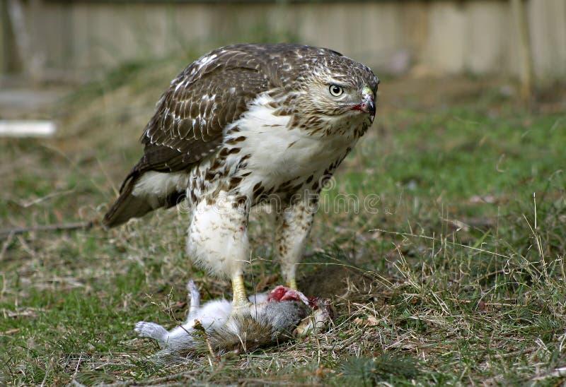 Download Fierce! stock photo. Image of hawks, predator, hunter, broadwing - 4256