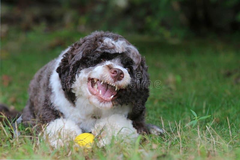 Fierce Dog Showing It`s Teeth. A fierce brown and white Portuguese Water Dog showing it`s teeth stock photography