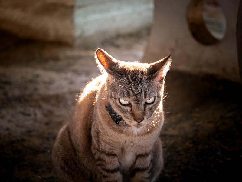 Fierce Tabby Cat Looked at The Intruder. The  Fierce Tabby Cat Looked at The Intruder in The Garden stock photography