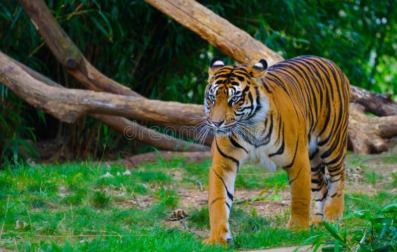 Fierce Tiger. A fierce tiger walking towards its mate stock photography