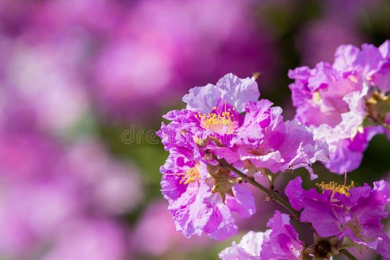 Fierté de fleur d'Inde (la fleur de la reine) photographie stock libre de droits