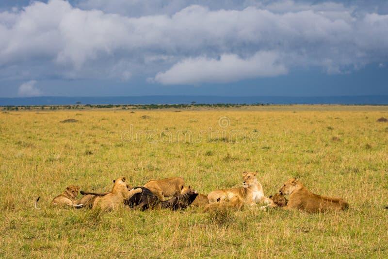 Fierté de lion alimentant sur le gnou photographie stock