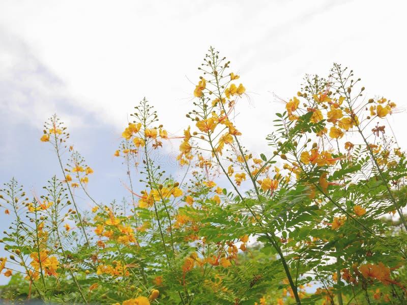 Fierté des Barbade jaune photographie stock libre de droits
