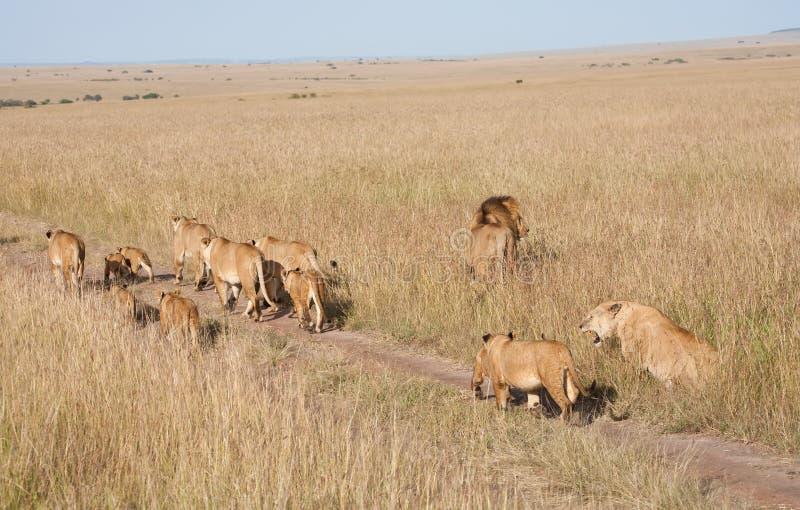 Fierté des lions photo stock