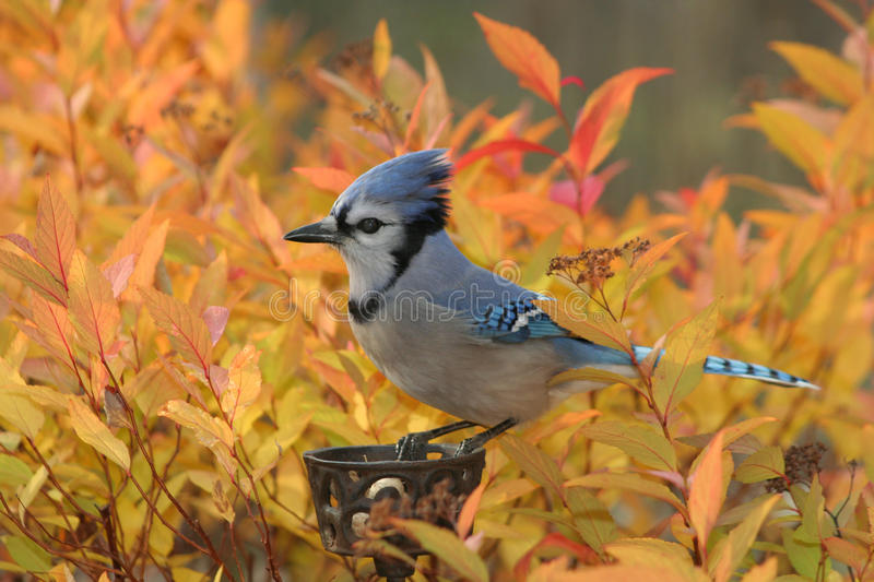 Fiery Blue Jay stock images