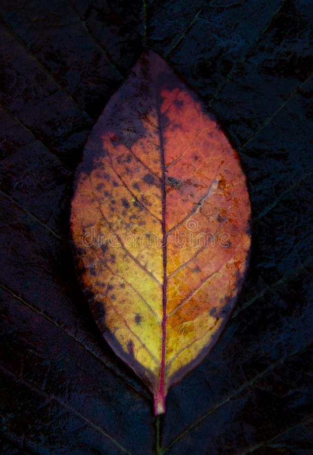 Fiery color. Autumn leaf of color of a flame. stock photos