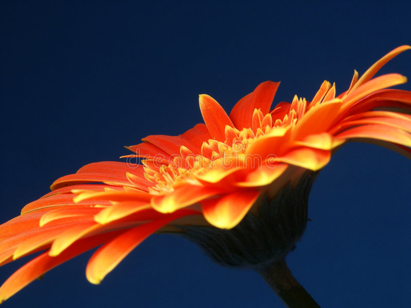 A fiery Gerber (or Gerbera) stock photography