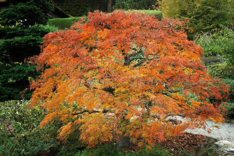 Fiery Japanese Maple royalty free stock image