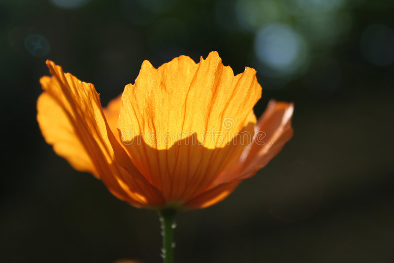 Download Fiery poppy stock image. Image of summer, field, bloom - 6369577