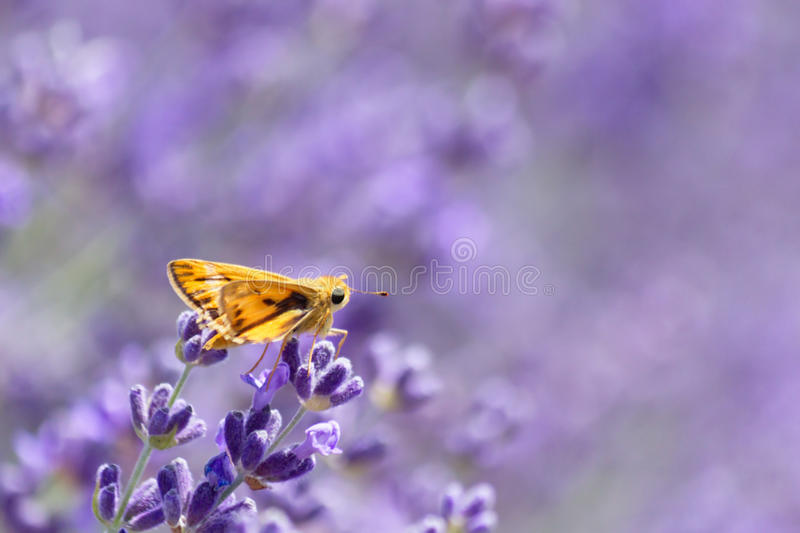 Fiery Skipper royalty free stock images