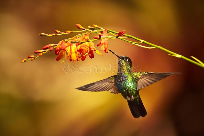 Fiery-throated Hummingbird, Panterpe insignis, shiny colour bird royalty free stock image