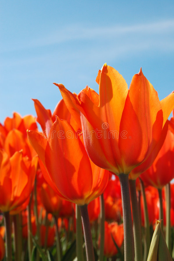 Download Fiery Tulips stock image. Image of grow, bloom, flower - 2211701