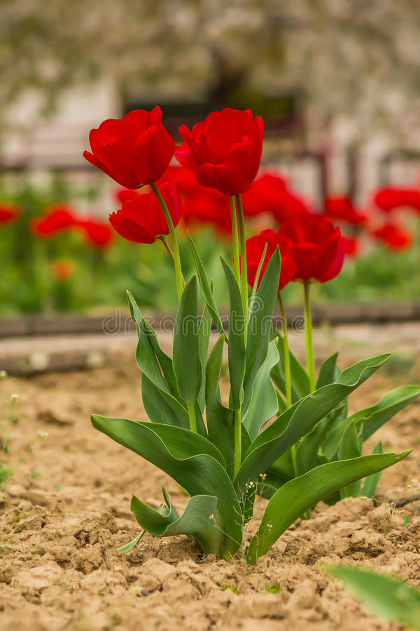 Fiew red tulip on color blurred background stock photo