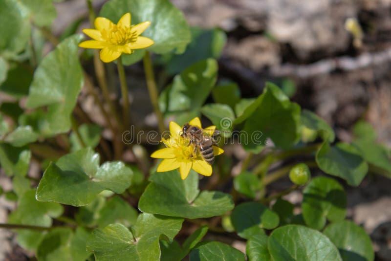 FieYellow wiosny kwiaty w lasowym Pogodnym lesie z ? zdjęcia stock