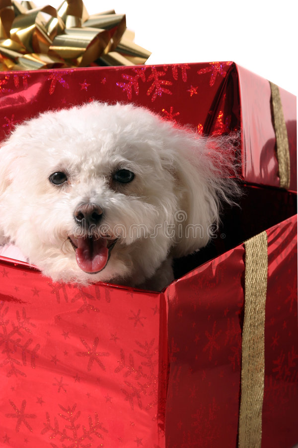 Download Fifi a bichon frise stock image. Image of frise, birthday - 521349
