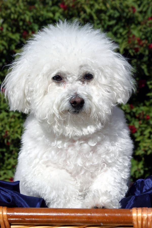 Fifi un Bicon Frise (familiaris del Canis) immagini stock libere da diritti