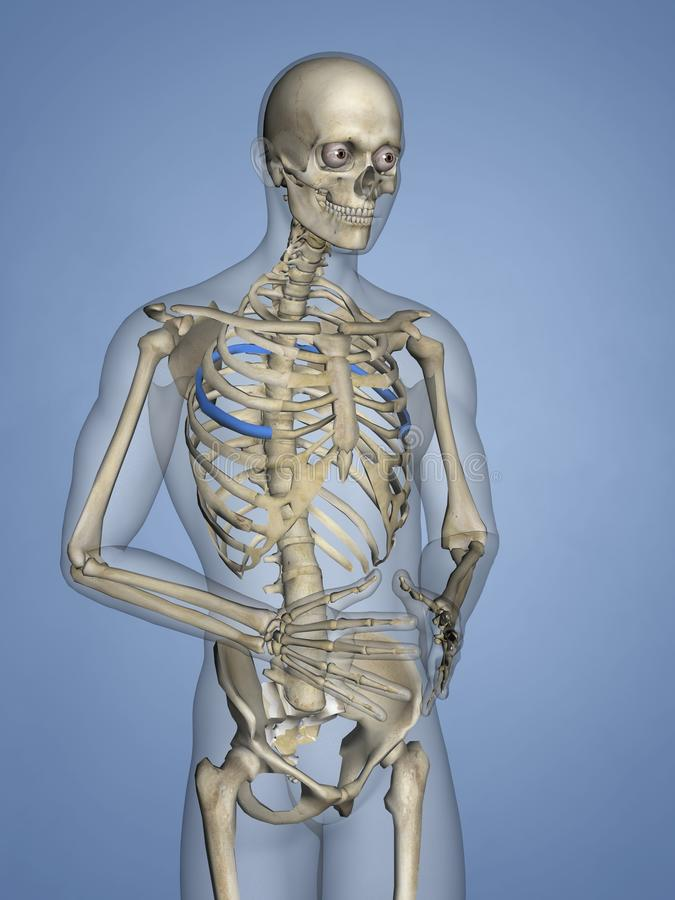 Fifth Rib, Rib Cage, 3D Model stock images