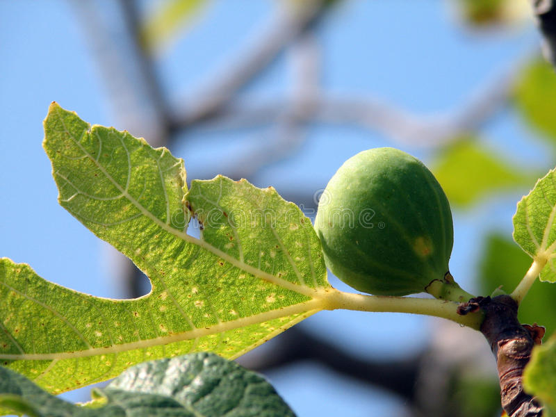Download Fig stock photo. Image of fruits, green, pipal, tree - 11091988