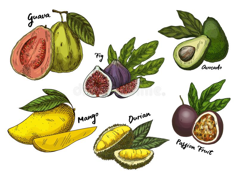 Fig. en guave, avocado en mango, maracuyaschetsen stock illustratie