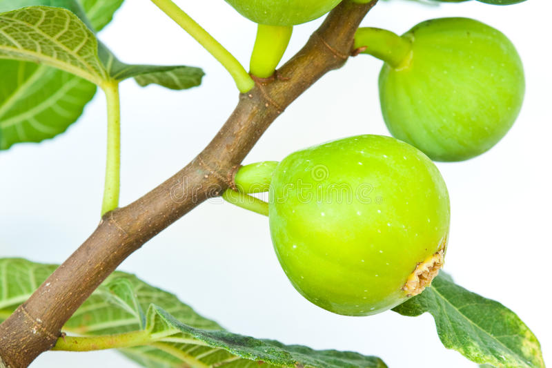 Fig Fruit Stock Photography