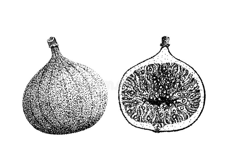 Fig fruit illustration old lithography style hand drawn stock illustration