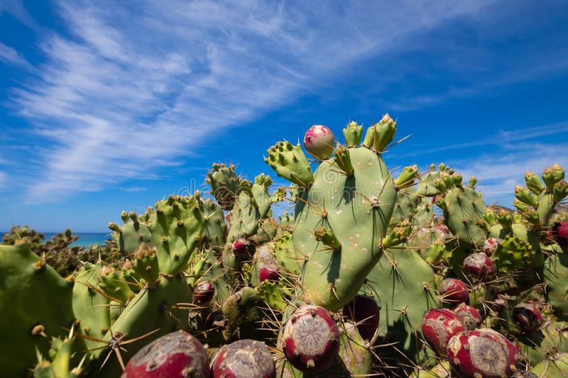 Fig fruits in green cactus opuntia ficus-indica and blue sky. Purple fig fruits in green plant cactus opuntia ficus-indica also named Cactus Pear, Nopal, fig royalty free stock image