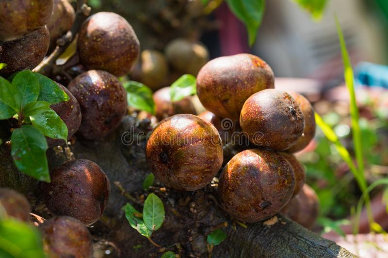 Fig fruits on tree outdoor undFig fruits on tree outdoor under sunlighter sunlight royalty free stock photos