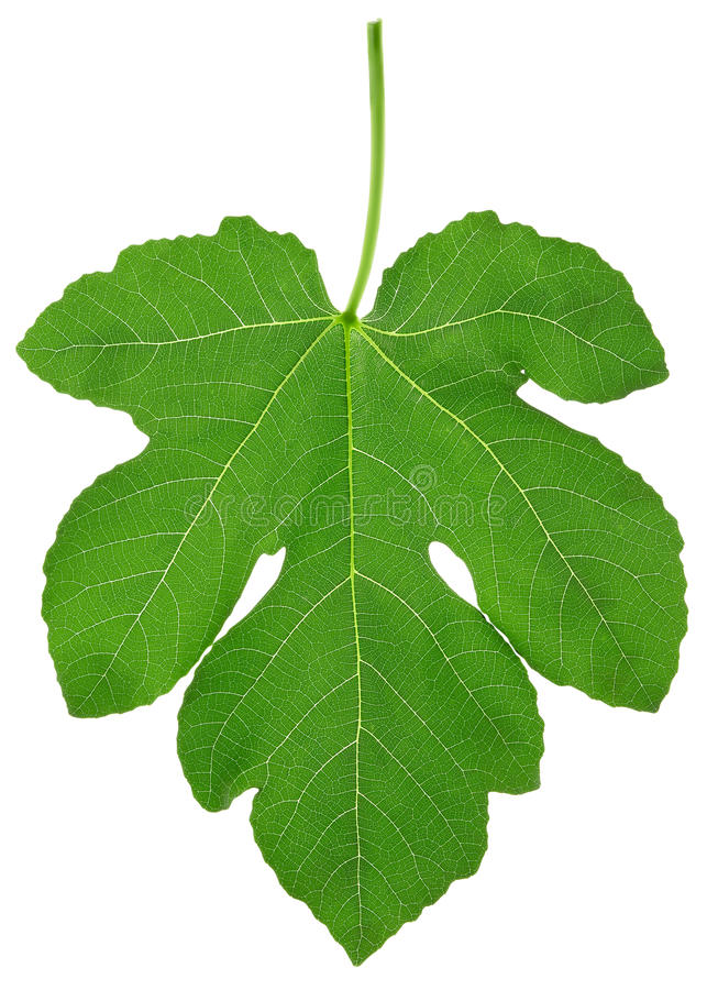 Free Fig Leaf Royalty Free Stock Photography - 17587937