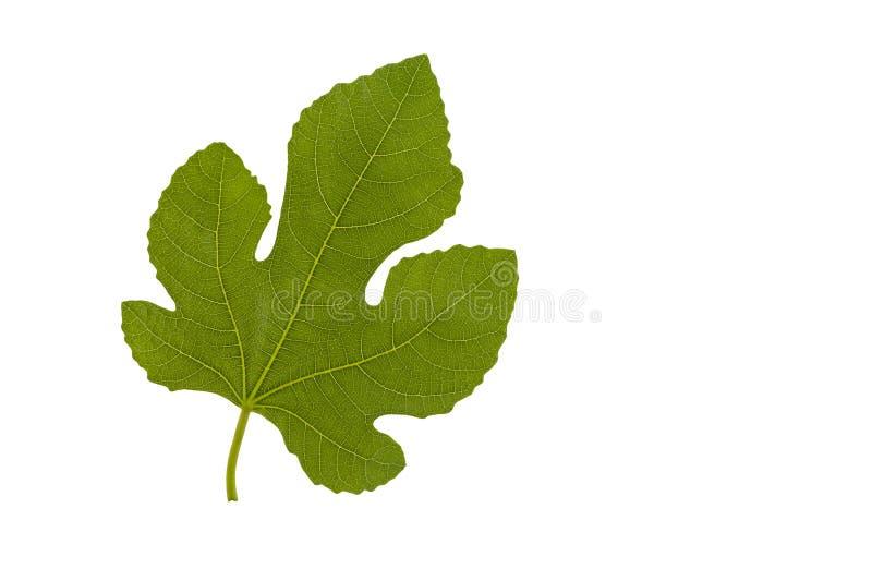 A fig leaf. stock images