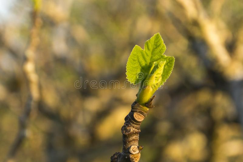 Sprout announces the arrival of spring. Fig leaf sprout at late winter dusk with blurred background stock photo