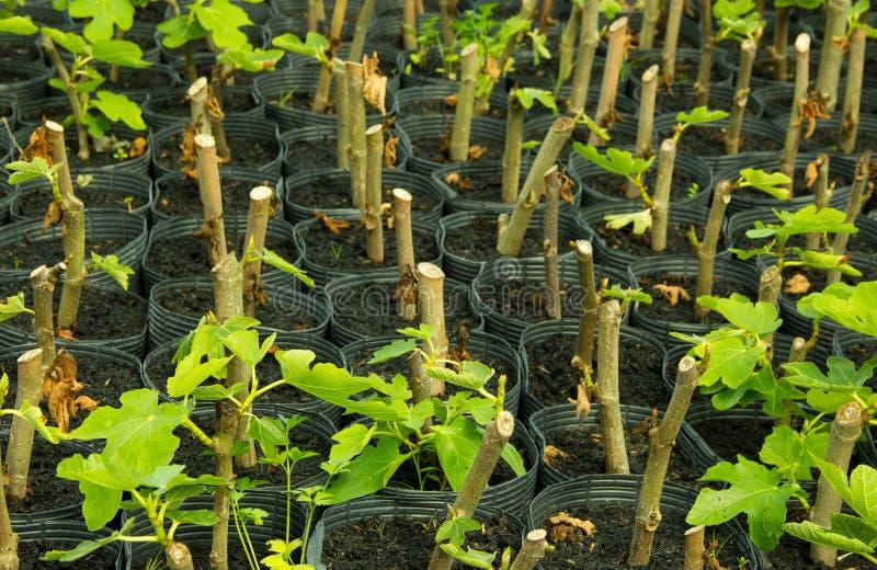 Fig rozsady w pepinier torbach obrazy stock